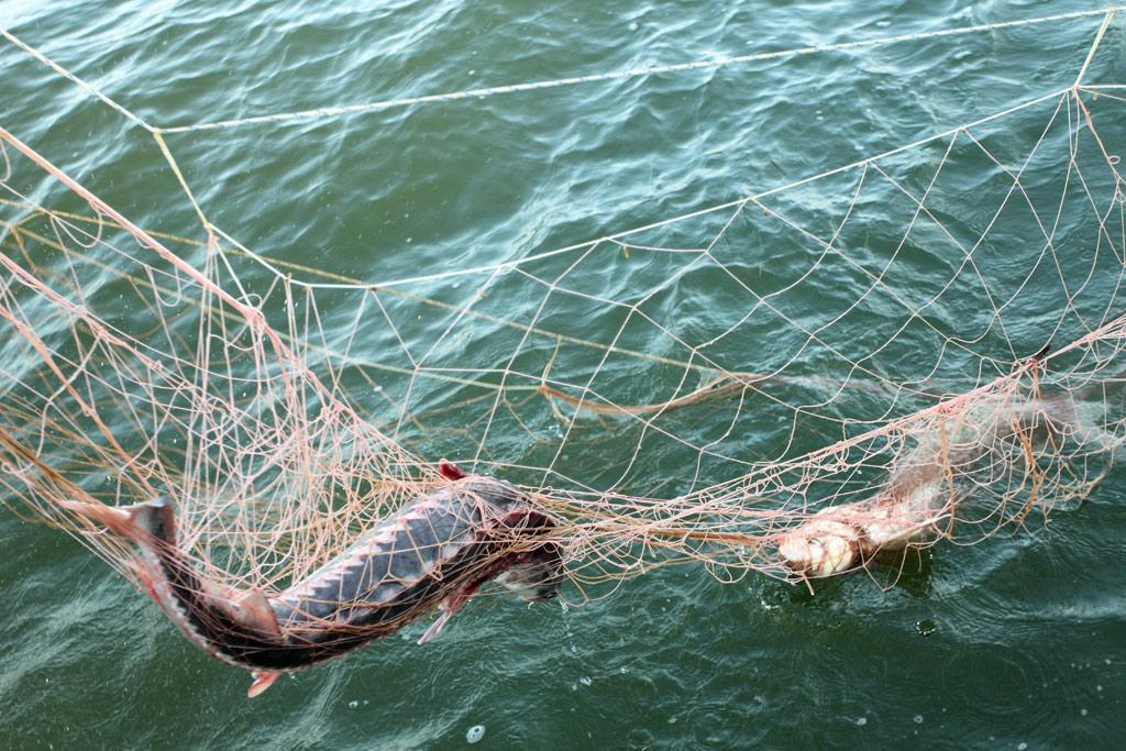 Теперь ввели ограничения по весу улова для каждого вида рыб.